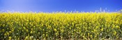 Close up of Canola in bloom, Idaho