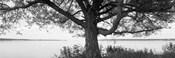 Tree on a Lake, Wisconsin (black & white)