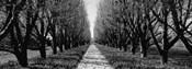 Trees along a walkway in black and white, Niagara Falls, Ontario, Canada