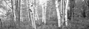 Birch trees in a forest, Acadia National Park, Hancock County, Maine (black and white)