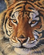 Siberian Tiger - up close