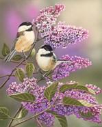 Lilacs and Chickadees