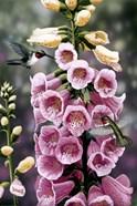 Hummingbirds - Foxgloves