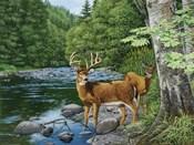 Streamside - White Tail Deer
