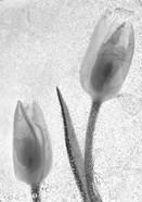 Tulipanes Blancos 33-2