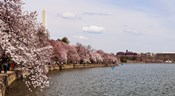 Cherry Blossom trees in the Tidal Basin with the Washington Monument in the background, Washington DC, USA