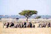 African Elephants in Masai Mara National Reserve, Kenya
