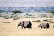 African elephants (Loxodonta africana) walking in plains, Masai Mara National Reserve, Kenya