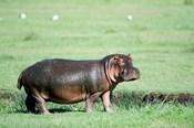 Hippopotamus (Hippopotamus amphibius) in a field, Ngorongoro Crater, Ngorongoro, Tanzania