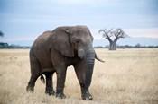 African elephant (Loxodonta africana) walking in a forest, Tarangire National Park, Tanzania