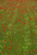 Poppy Field in Bloom, Les Gres, Sault, Vaucluse, Provence-Alpes-Cote d'Azur, France (vertical)