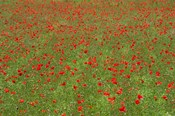 Poppy Field in Bloom, Les Gres, Sault, Vaucluse, Provence-Alpes-Cote d'Azur, France (horizontal)