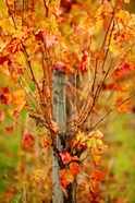Vineyard in autumn, Gaillac, Tarn, Midi-Pyrenees, France (vertical)
