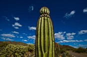 Low angle view of a Saguaro cactus (Carnegiea gigantea), Tucson, Pima County, Arizona