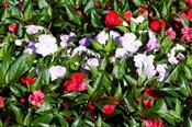 Flowers in the garden at Villa Carlotta, Tremezzo, Lake Como, Lombardy, Italy