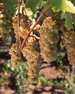 Chardonnay Grapes, California