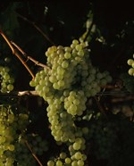Grapes in a Viineyard, Carneros Region, California