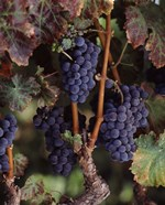Purple Grapes, Wine Country, California