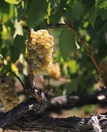 Chardonnay Grapes in Vineyard, Carneros Region, California