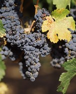 Cabernet Sauvignon Grapes, Wine Country, California