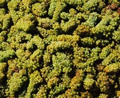 Grapes in a vineyard, Domaine Carneros Winery, Sonoma Valley, California, USA