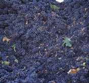 Cabernet Sauvignon Grapes in Vineyard, Wine Country, California