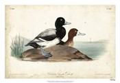 Audubon Ducks III