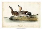 Audubon Ducks VI