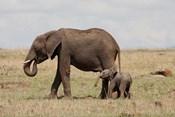 African Elephant With Baby, Maasai Mara Game Reserve, Kenya