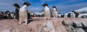 Adelie Penguins With Young Chicks, Lemaire Channel, Petermann Island, Antarctica