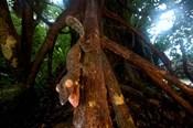 Giant leaf-tailed gecko (Uroplatus fimbriatus), Nosy Mangabe Reserve, Madagascar