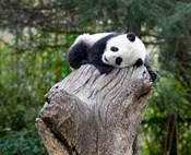 Giant Panda, Wolong Reserve, China