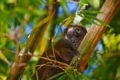 Bamboo lemur in the bamboo forest, Madagascar