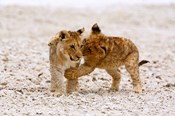 Africa, Two lion cubs play fighting on the Etosha Pan