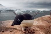 Adelie penguin, Western Antarctic Peninsula