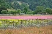 Farmland of Canola and Buckwheat, Bumthang, Bhutan