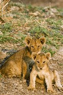 Africa, Tanzania, Katavi, lion cubs playing