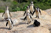 African Penguin colony at Boulders Beach, Simons Town on False Bay, South Africa