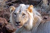 Face of feeding lion, Meru, Kenya