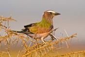 Africa. Tanzania. Rufous-crowned bird, Manyara NP