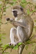Africa. Tanzania. Vervet Monkey at Manyara NP.