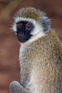 Africa. Tanzania. Vervet Monkey in Tarangire NP.