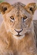 Africa. Tanzania. Young lion in Tarangire NP