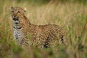 African Leopard hunting in the grass, Masai Mara Game Reserve, Kenya