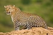 African Leopard, Masai Mara Game Reserve, Kenya