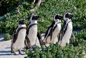 Group of African Penguins, Cape Town, South Africa