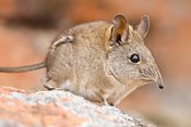 Cape Elephant Shrew, Bushmans Kloof, South Africa
