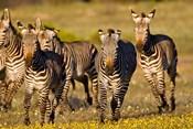 Cape Mountain Zebra, Bushmans Kloof, South Africa