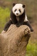 China, Wolong Panda Reserve, Baby Panda bear on stump