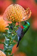 Double-collared Sunbird, South Africa-collared Sunbird, South Africa